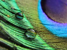 Droplets on peacock feather