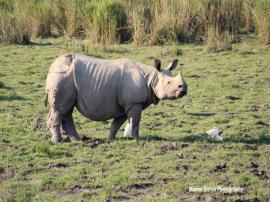 One-horned Rhino, Treasure of Kaziranga