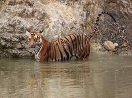the tigress of Jim Corbett