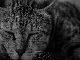 B/W Cat closeup