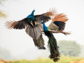 2 Indian Male Peafowls