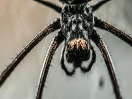 Innocent Spider