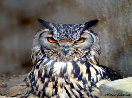 The Great Indian Owl !!