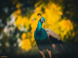 Colours are the reflection of India and so is peacock