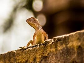Temple Lizard